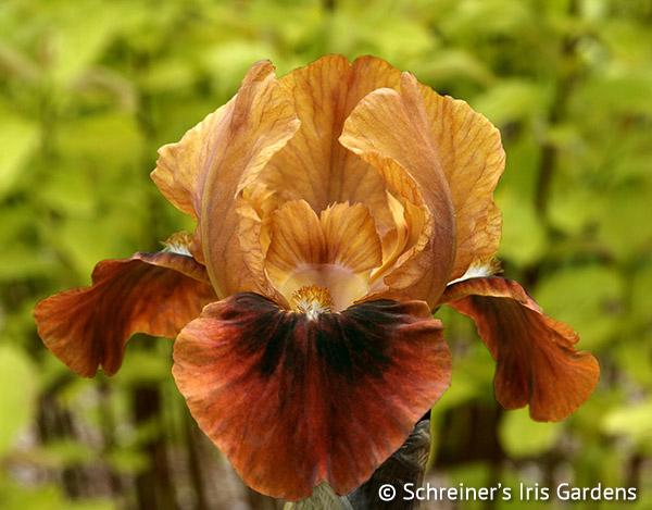Spice Sister | Dwarf Bearded Iris