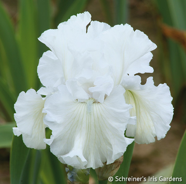 Forever Blowing Bubbles | White Iris