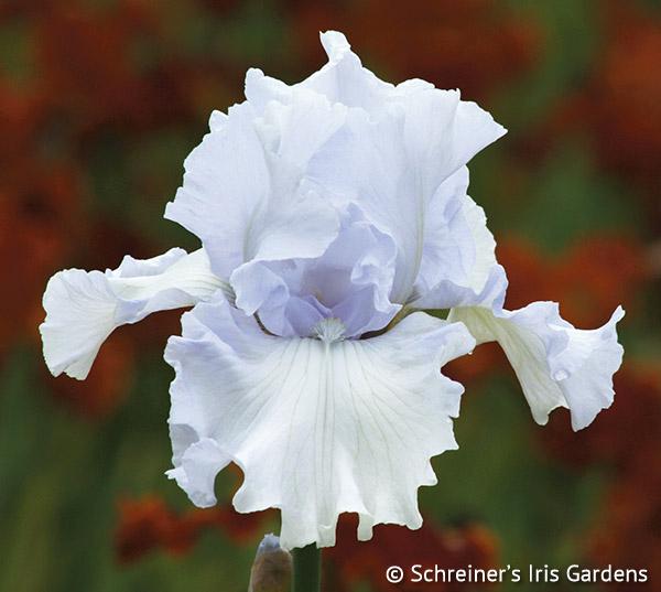 Lady of Leoness | Tall Bearded Iris