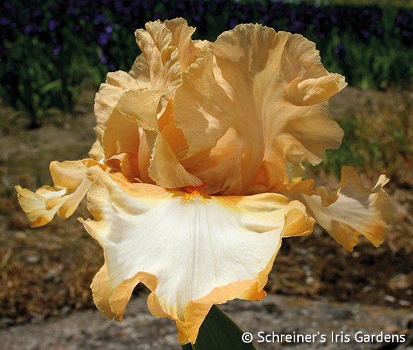 Orange Titan | Tall Bearded Iris