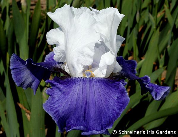 Planeur | Tall Bearded Iris