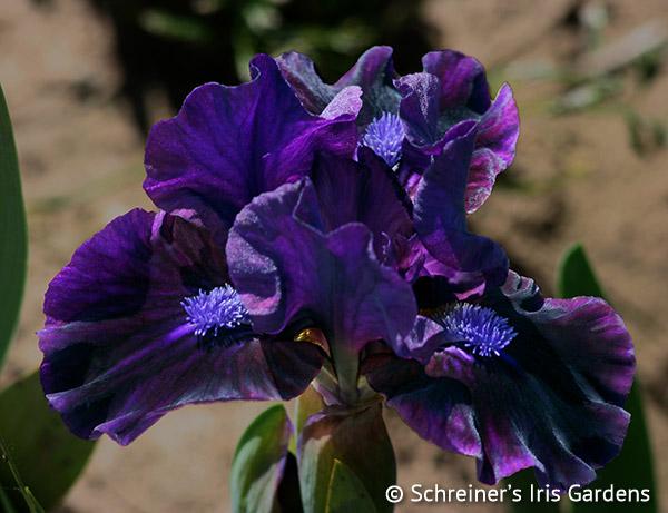 Barnie | Dwarf Bearded Iris