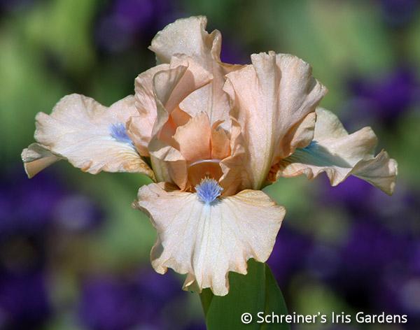 Cameo Keepsake | Dwarf Bearded Iris