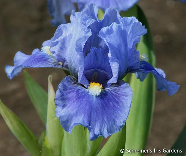 Sky of Blue | Dwarf Bearded Iris