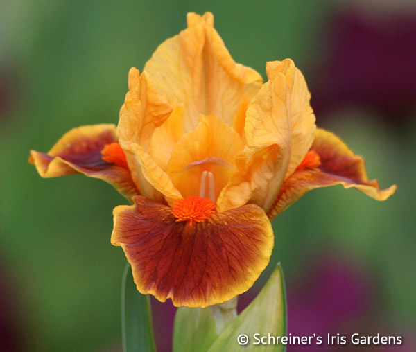Small Margin | Orange Iris