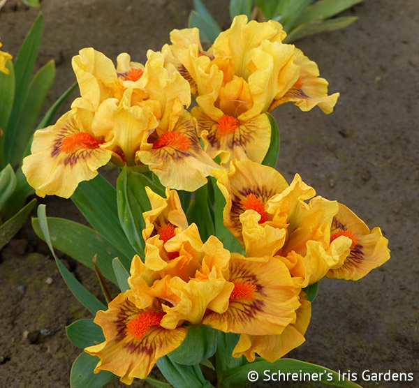 Magnificent Seven Iris Collection | Shop Iris Collections