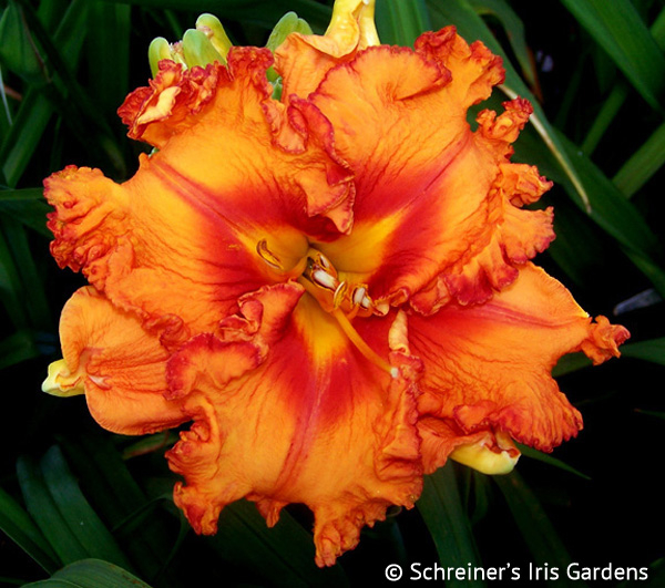 Joviality (Daylily) April Shipping | Apricot and Orange Daylilies
