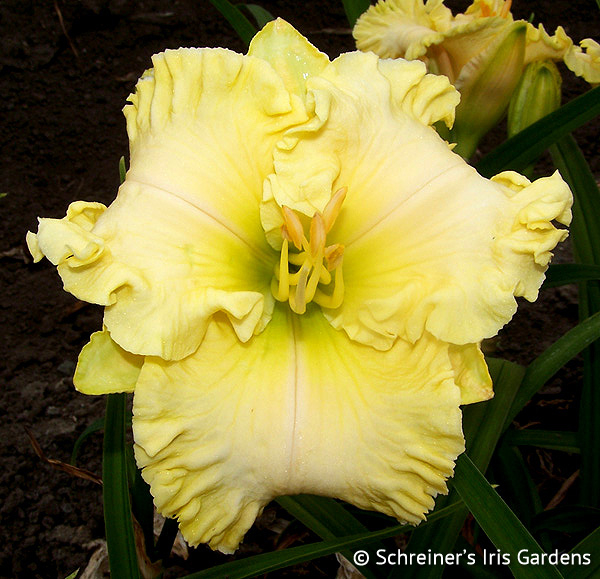 Butch and Barbara's Cracked Eggs | Golden Yellow Daylilies