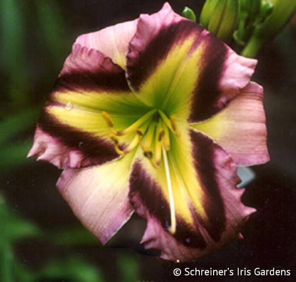 Tet Malachite Prism | Violet-Purple and Lavender Daylilies