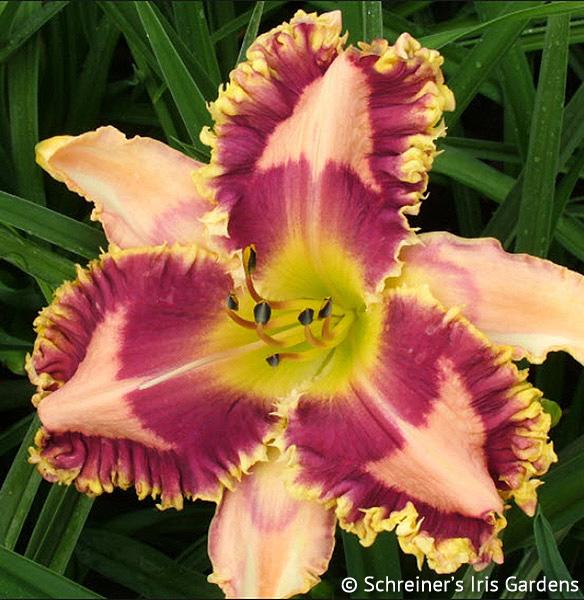 Frilly Lilyan | All Daylilies