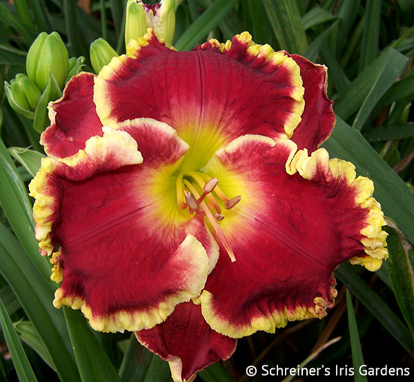 Blindingly Beautiful | Red Daylilies