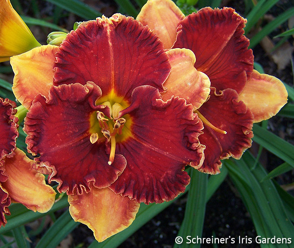 Spacecoast Color Scheme | Red Daylilies