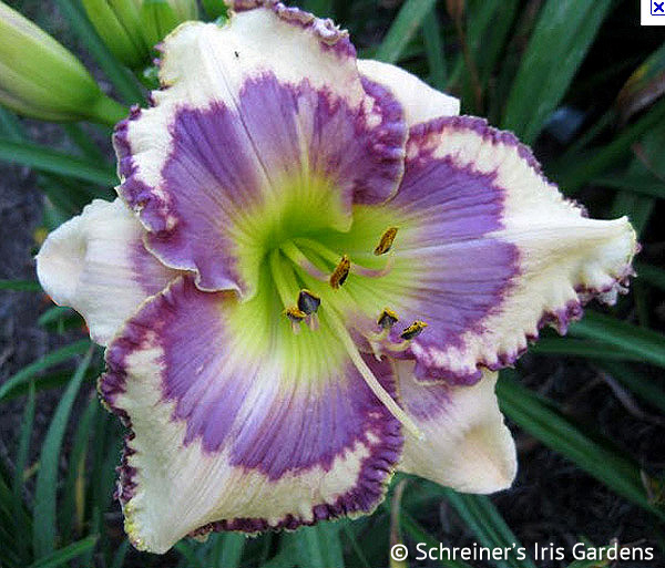 Blue Hippo | Violet-Purple and Lavender Daylilies