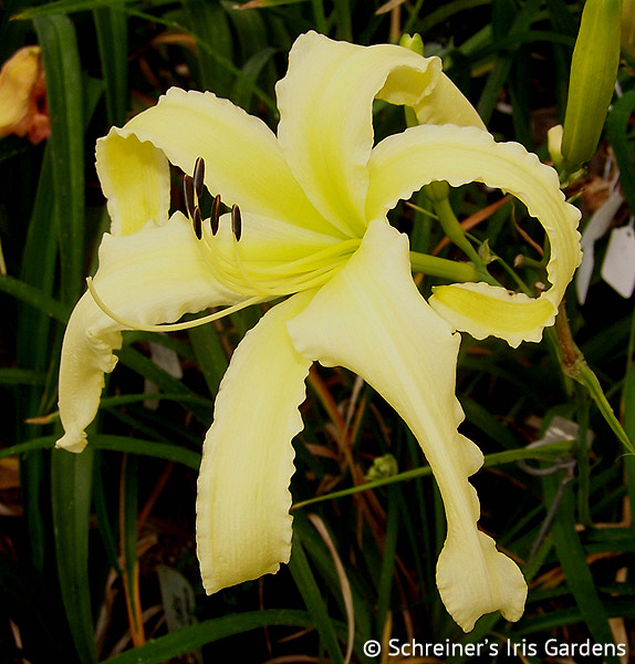 Ned's Choice | Golden Yellow Daylilies