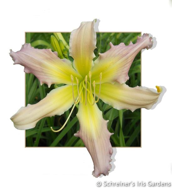 Merna Karen | Creamy White Daylilies