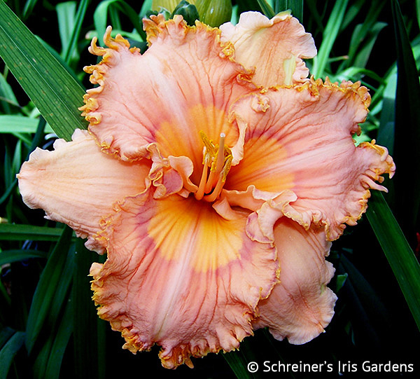 Prickly Sensation APRIL Shipping | Daylilies for Spring Shipping