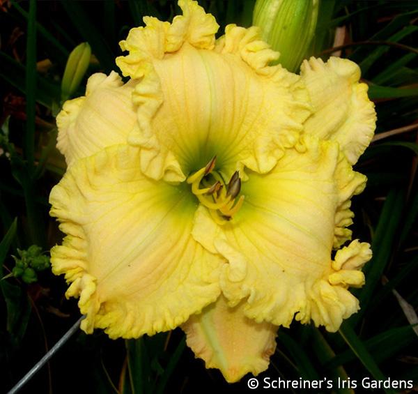 Aphrodisiac (Daylily) | Golden Yellow Daylilies