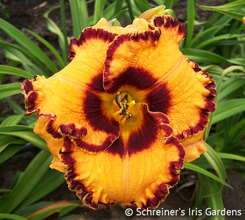 Banded Beauty | All Daylilies