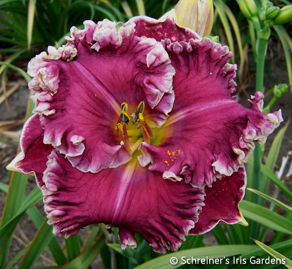 Confidante (Daylily) | Shop Reblooming Daylilies