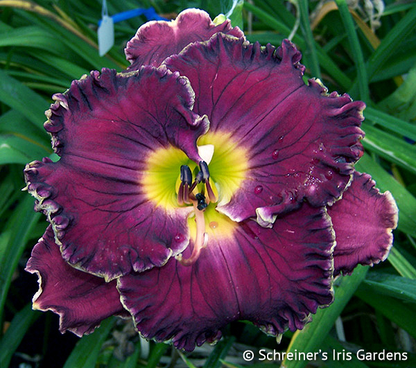 Dinner Talk | Violet-Purple and Lavender Daylilies