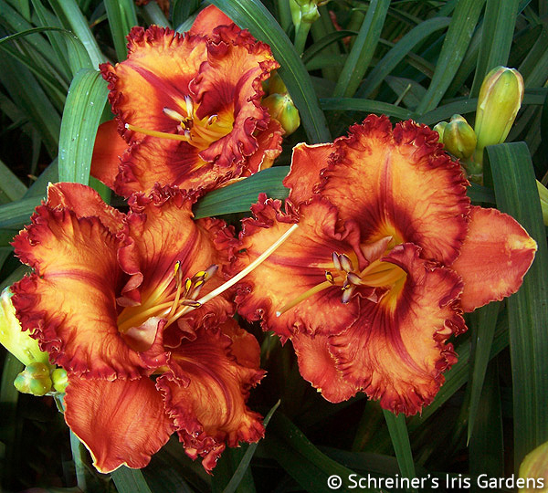 Ozark Garden Gem | Apricot and Orange Daylilies
