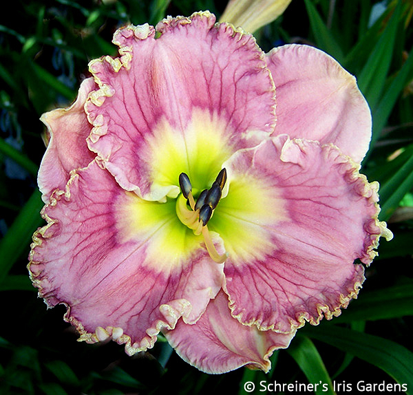 Orchid Prelude | Pink Daylilies