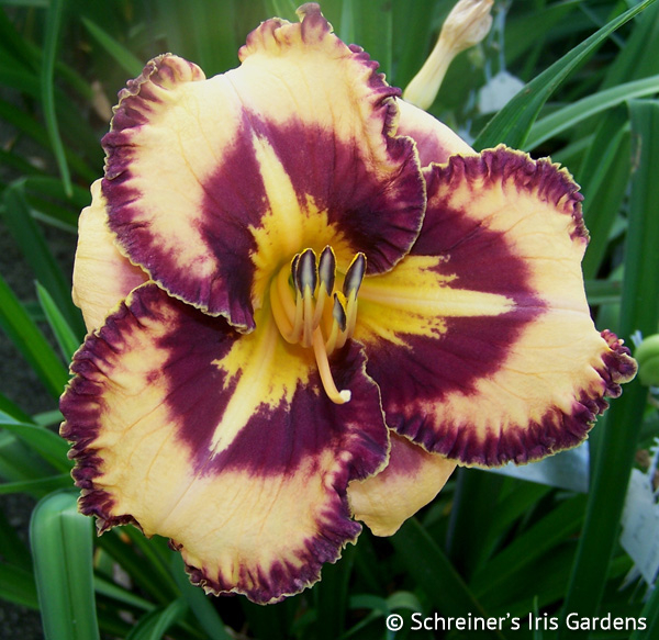 Billy the Kid | Shop Daylilies by Evergreen/Semi-Evergreen Varieties