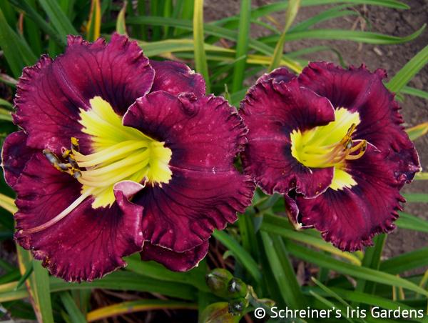 Napa Valley Merlot | Daylilies M-O