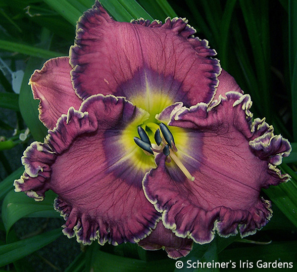 Splendida | Violet-Purple and Lavender Daylilies