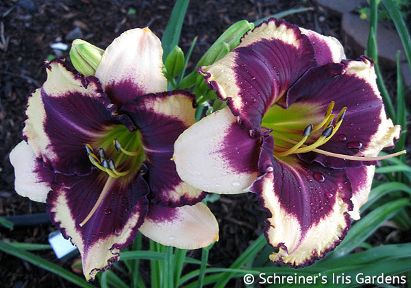 Stunningly Different | Violet-Purple and Lavender Daylilies