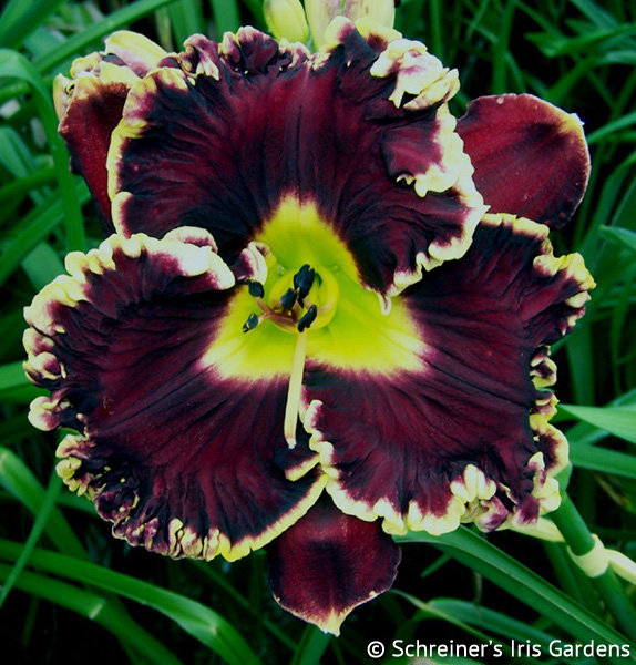 Magician's Magic | Violet-Purple and Lavender Daylilies