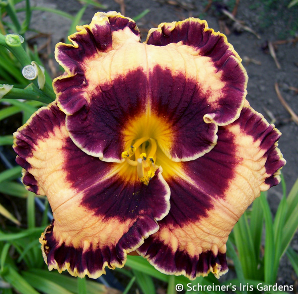 Griffin Miller APRIL Shipping | Daylilies for APRIL Free Shipping