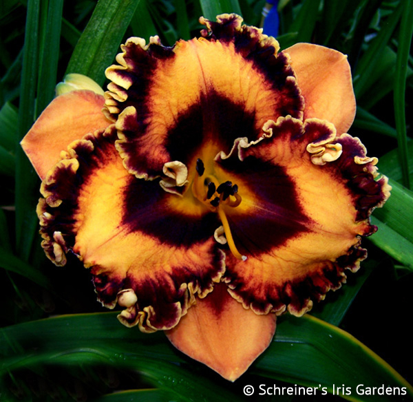 Incandescent | Daylilies G-I