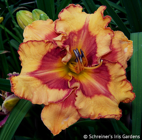 Pointed Perfection APRIL Shipping | Daylilies for APRIL Free Shipping