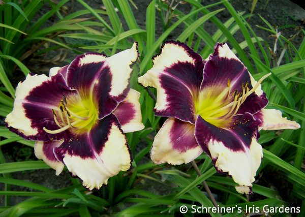 Glamoureyez | Violet-Purple and Lavender Daylilies