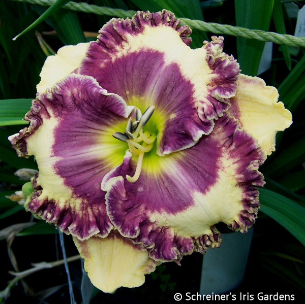 Janet and Bill | Violet-Purple and Lavender Daylilies