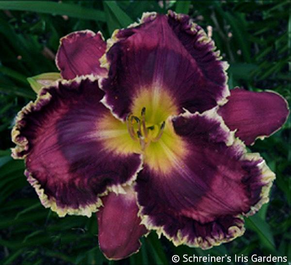 Carla Ruth | Shop Daylilies by Evergreen/Semi-Evergreen Varieties