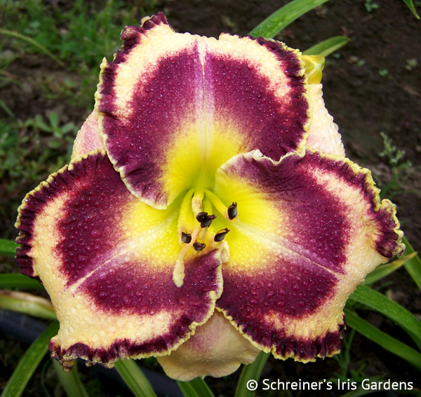 Southern Dazzle | Violet-Purple and Lavender Daylilies