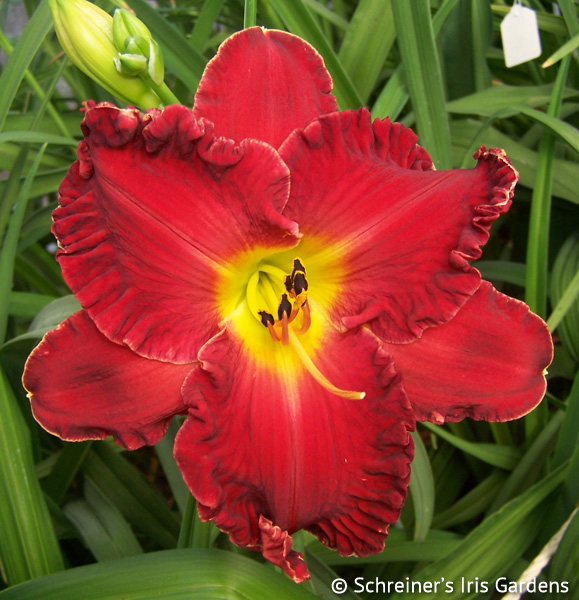 Galactic Blast | Red Daylilies
