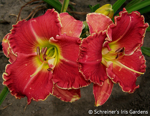 Streetcar Named Desire | Red Daylilies