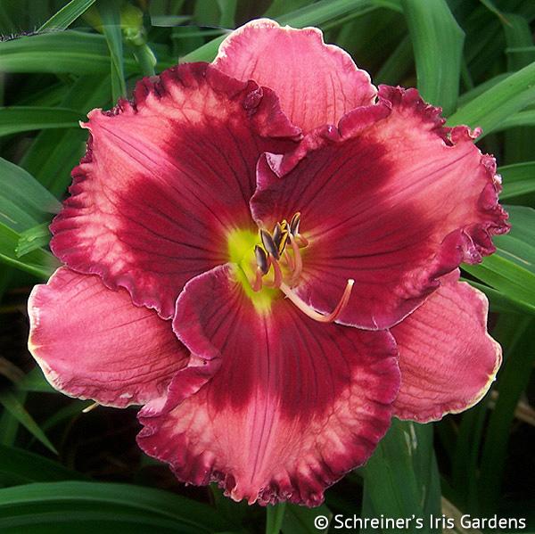 Walter Kennedy | Red Daylilies