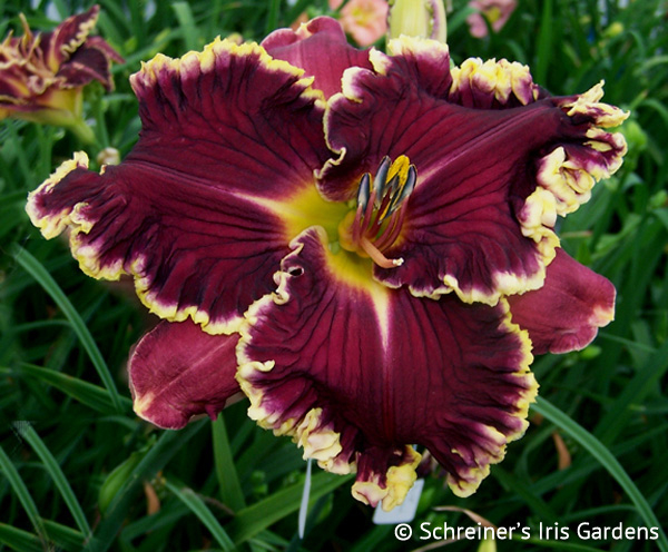 Dark Night Dynamite | Shop Reblooming Daylilies