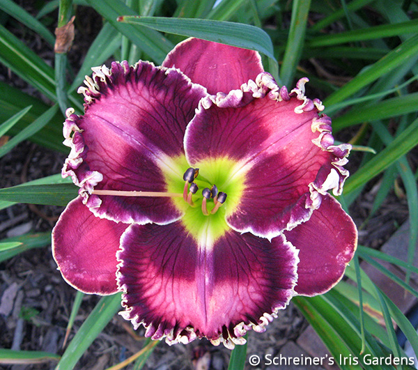 Silver Moon Sparkle | Violet-Purple and Lavender Daylilies