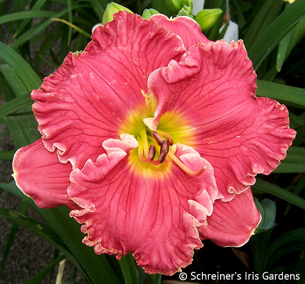 Ruffled Pink Perfection | Pink Daylilies