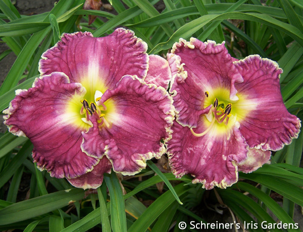 Rex's Basso Profundo | Violet-Purple and Lavender Daylilies
