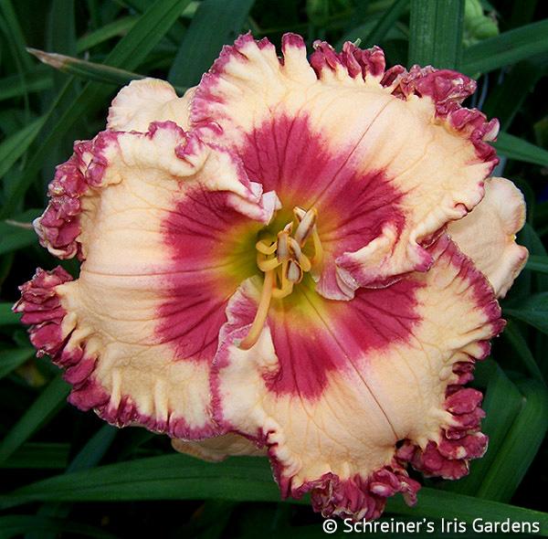 Poem of Ecstasy (Daylily)   Pink Daylilies