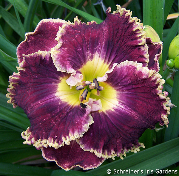 Sip of Bordeaux | Violet-Purple and Lavender Daylilies