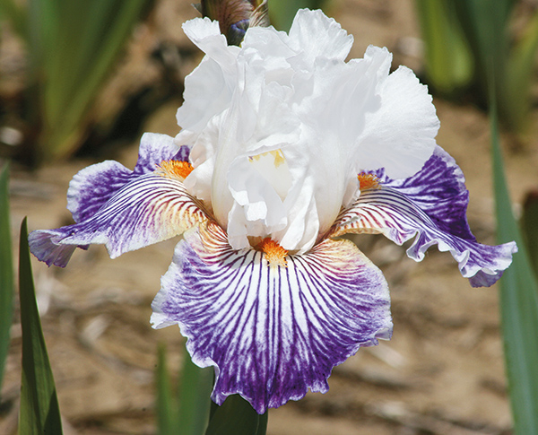 Border Bearded Iris Collection | Shop Discounted Iris Collections