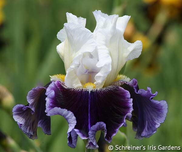 Just The Ticket | Tall Bearded Iris