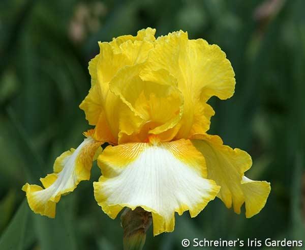 Vested Interest | Tall Bearded Iris